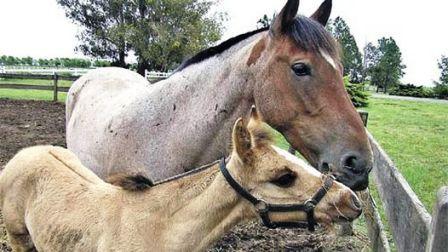Ñandubay, el primer caballo clonado de la Argentina
