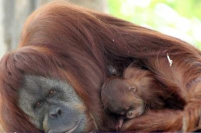 Orangutanes y humanos comparten el 97% de sus genes