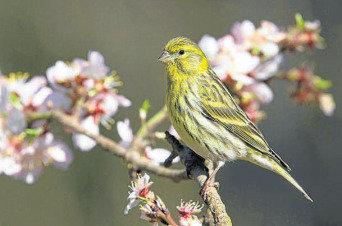 Los pájaros urbanos dedican más tiempo a cantar para compensar el ruido